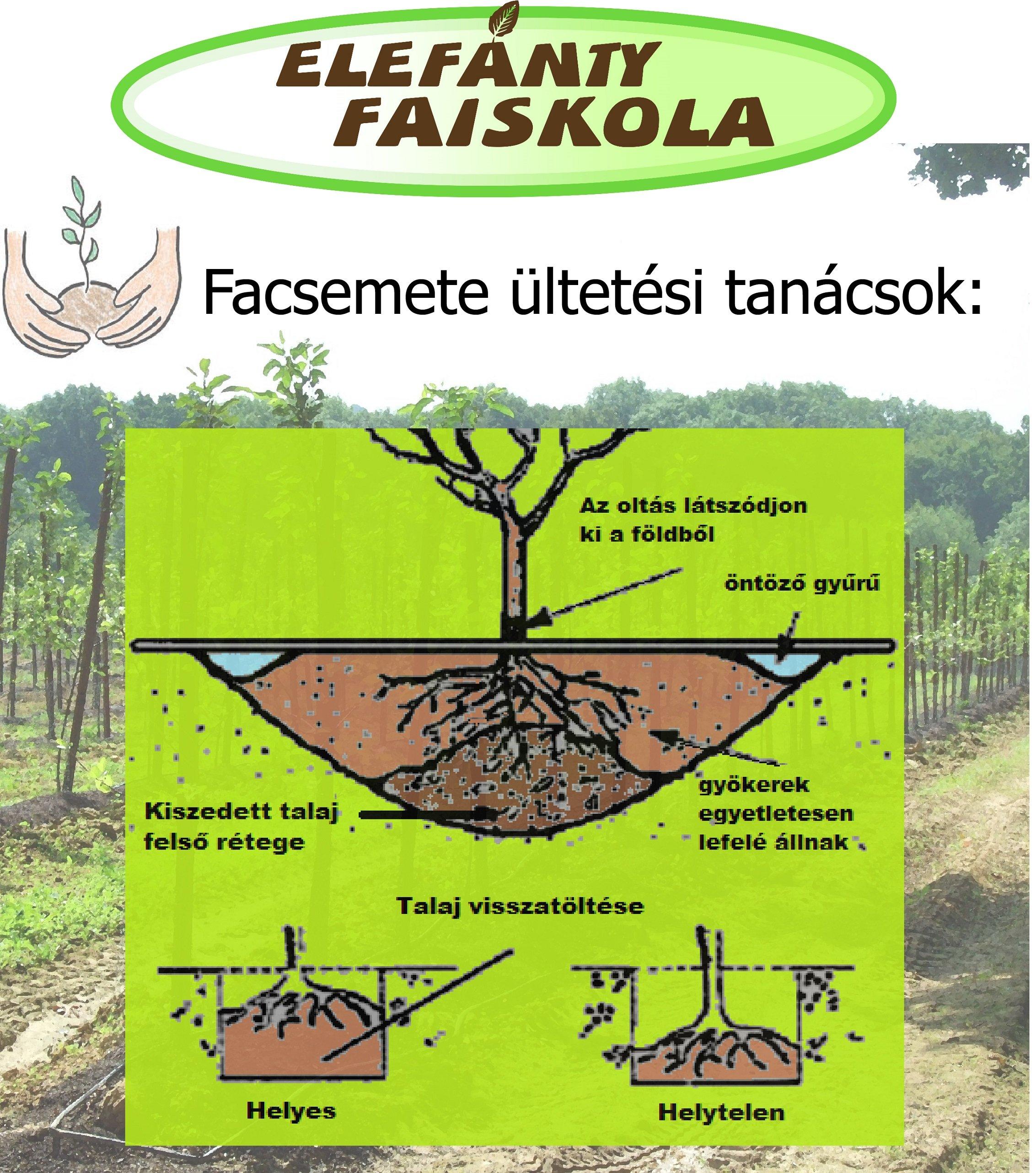 Gyümölcsfa átültetése