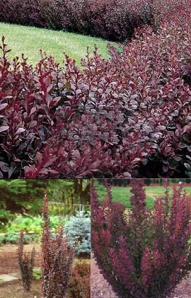 Berberis thunbergii 'Red Chief' (Vörös levelű borbolya